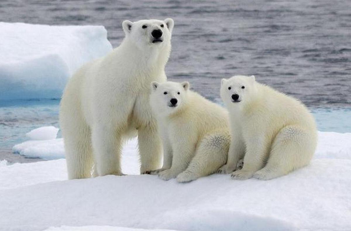 фото животных арктических пустынь россии
