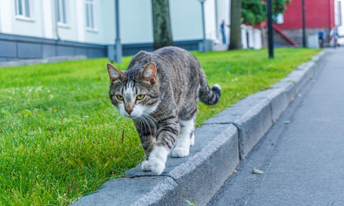 кот полосатый