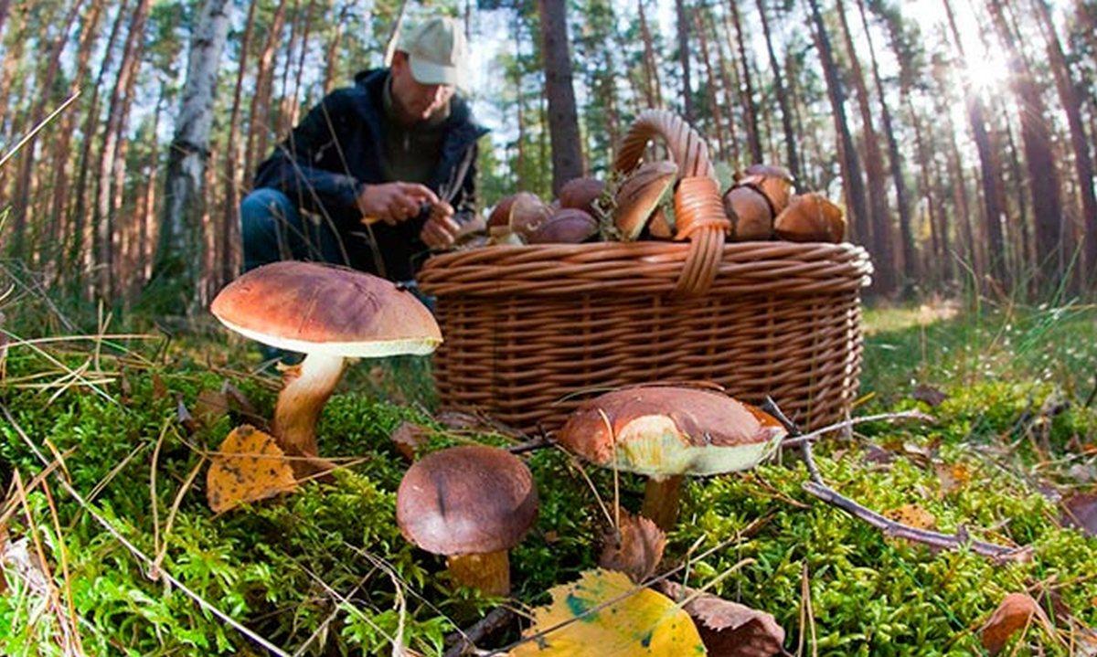 грибник, лес, собирает