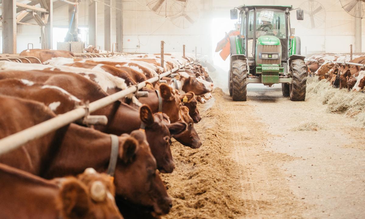 коровы, трактор, совхоз ильинский, омк, олонецкий молочный комбинат, молоко карелии, олония, продукция олонии