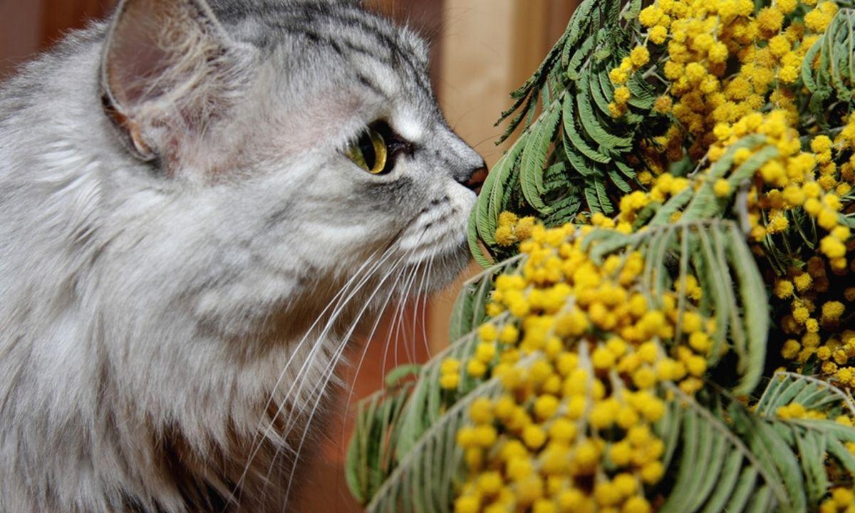 кот и мимоза