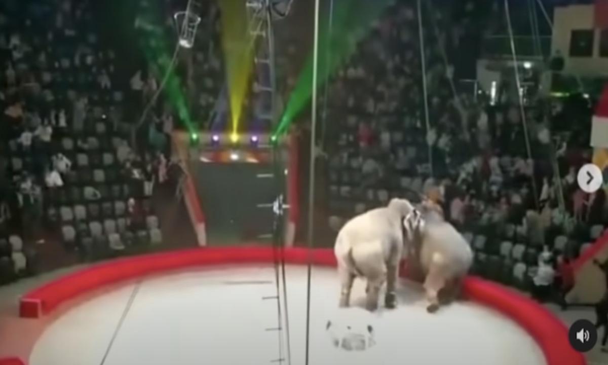 Драка слоних в цирке