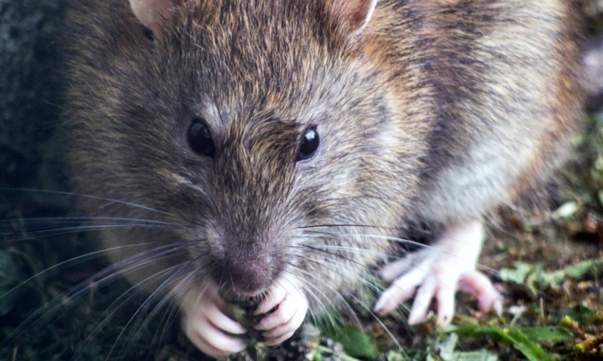 крыса что-то ест