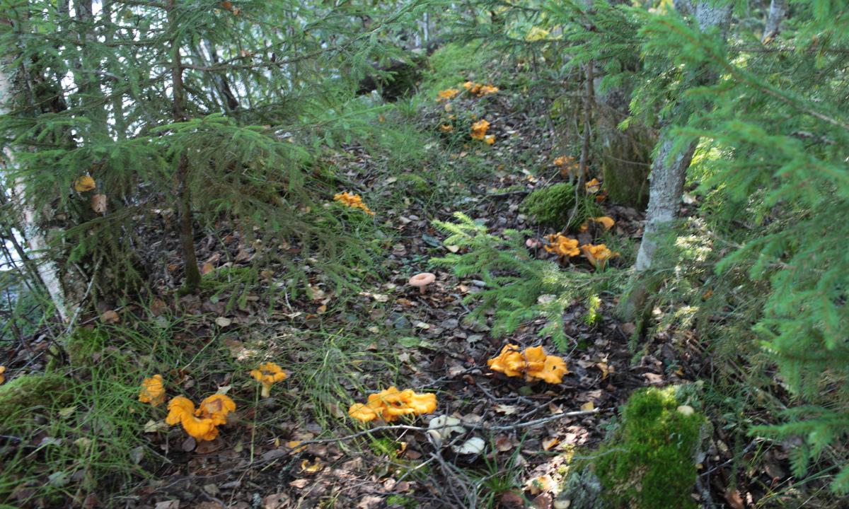 лисички в карельском лесу