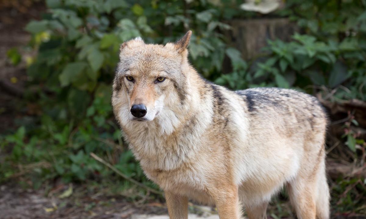 Волчица в лесу