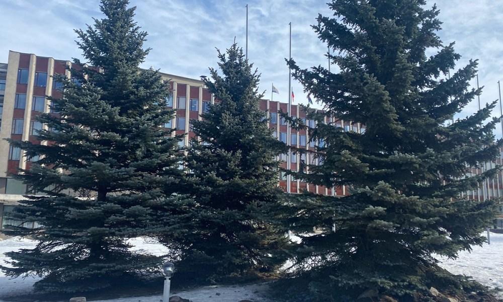 Из-за строительства дороги голубые ели в центре Петрозаводска пересадят