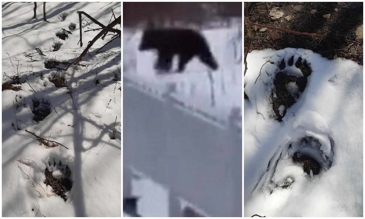 медведь в карельском поселке