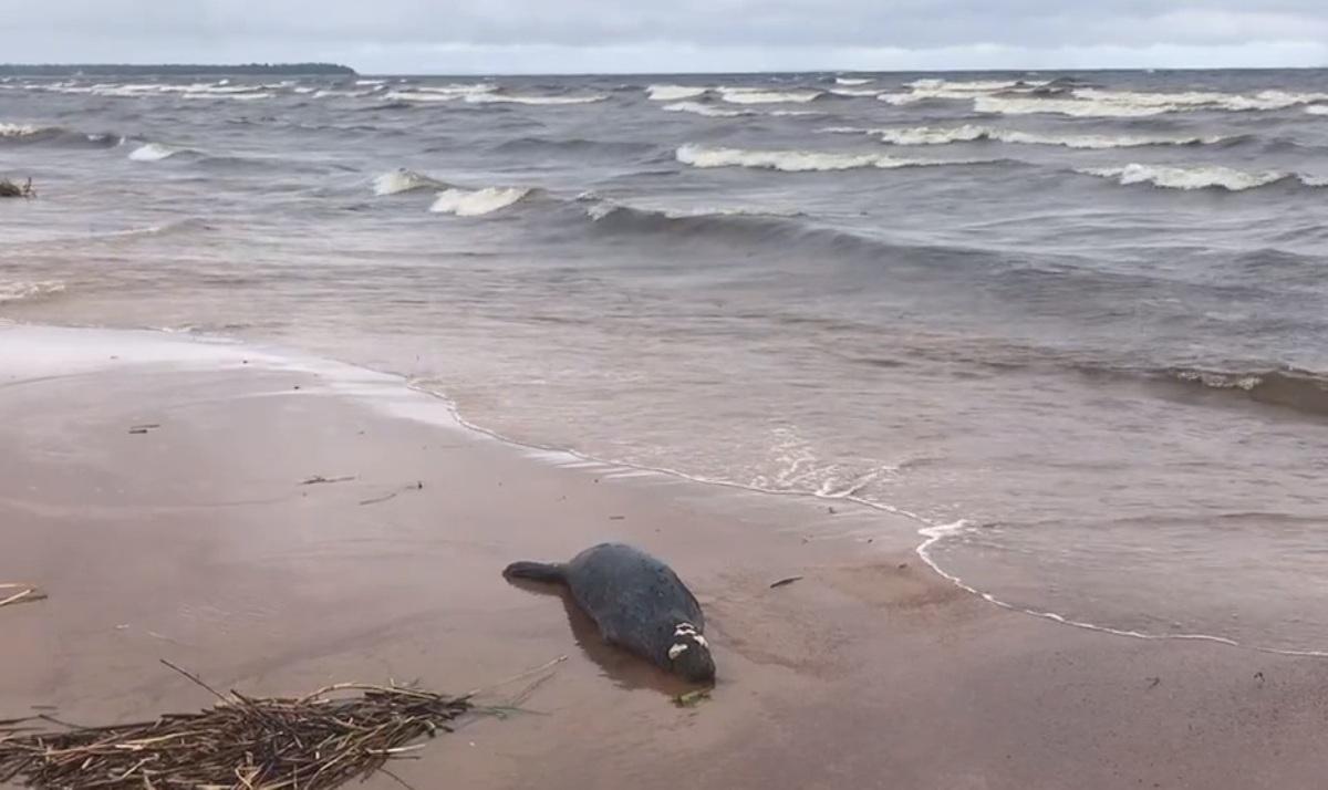 Мертвых тюленей нашли на берегу