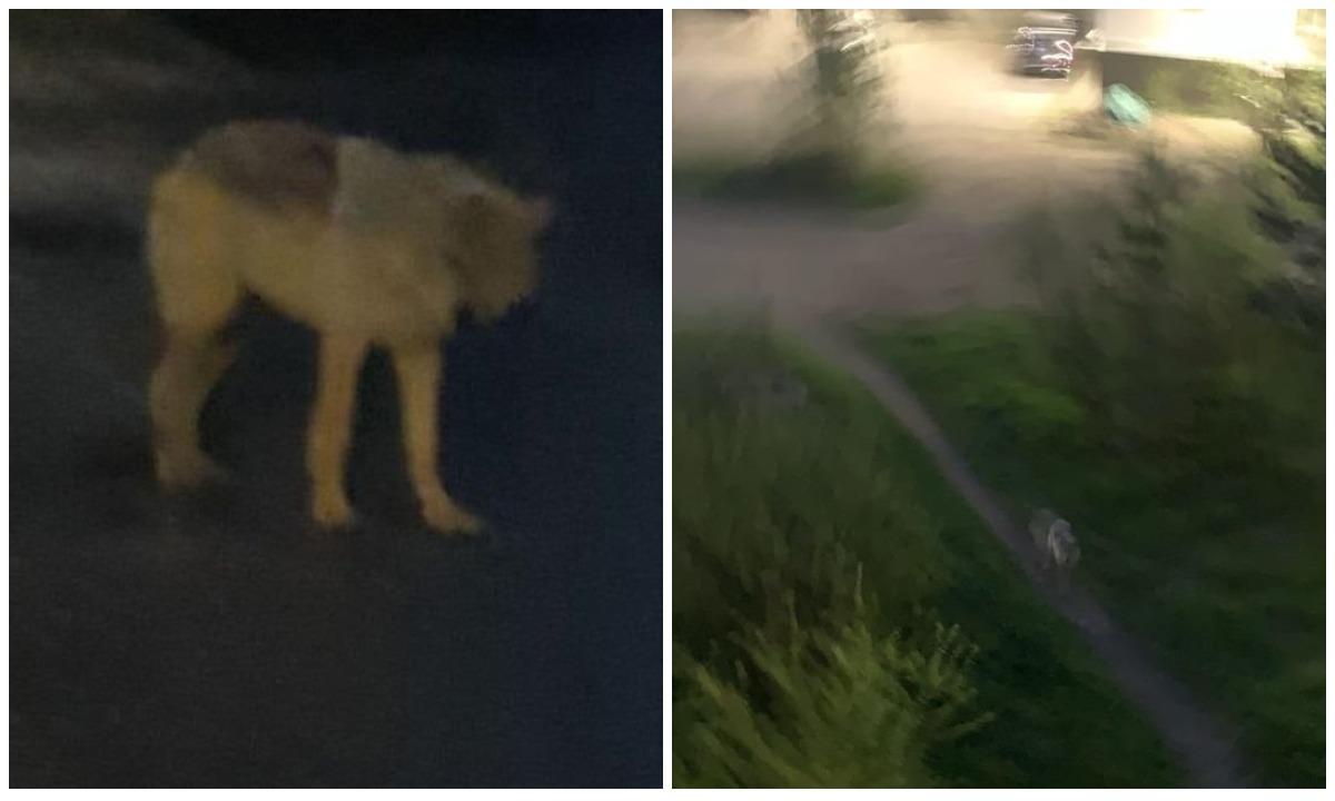 волк гуляет по центру Петрозаводска