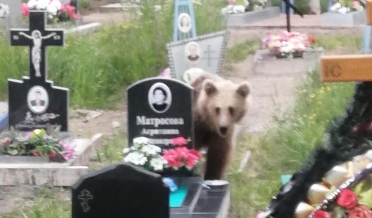 медведь пришел на кладбище