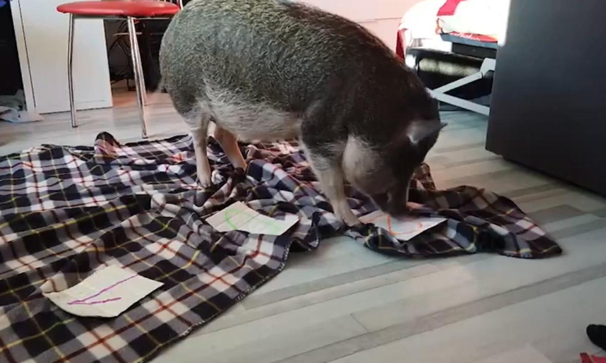 Петрозаводчане вместо собаки завели декоративную свинью, которая умеет считать