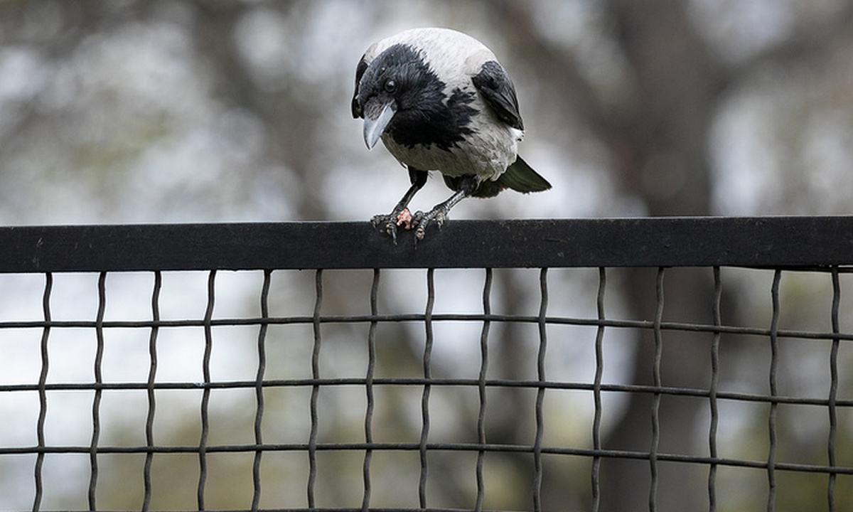 ворона на заборе