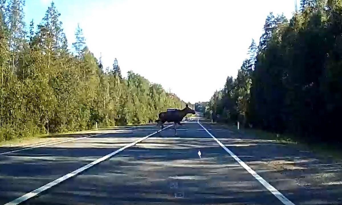 лось, в Карелии, перебегает, дорогу