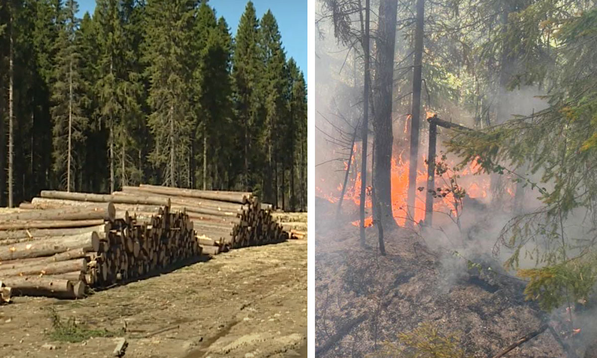 Где самые большие вырубки, там все время самые большие пожары