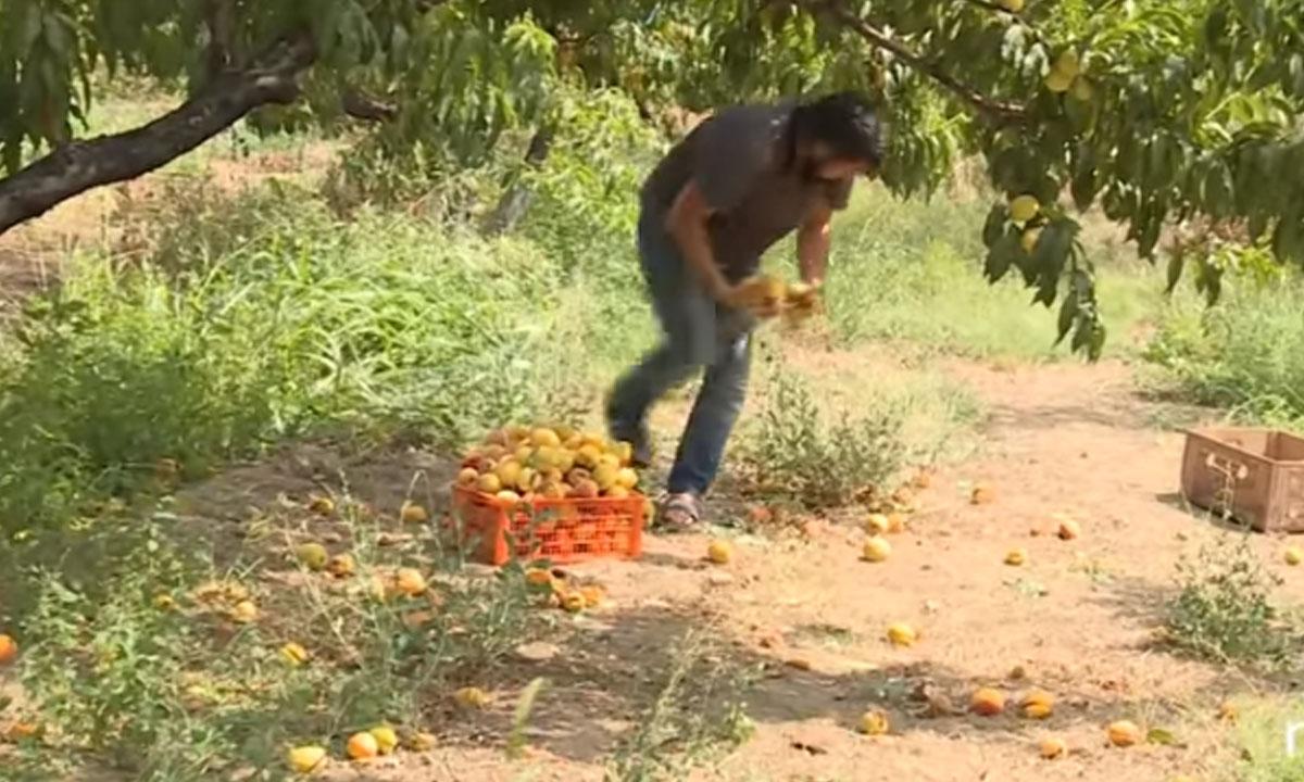 В Петрозаводске уничтожат партию персиков из-за опасных вредителей