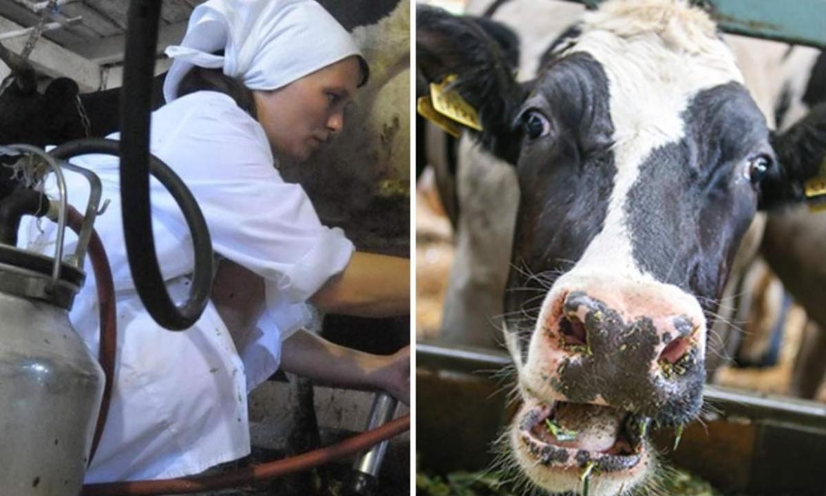 совхоз коровы доярка
